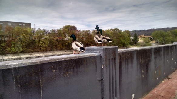 Another picture of the ducks at my work. They amuse me so much! Just chilling out, the best of friends.