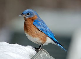 eastern_bluebird_glamor